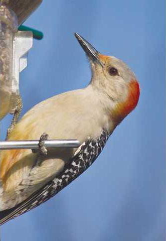 Avian Athletes Who Start Their >> Join The Bird Census In Your Own Backyard Gainesville Times
